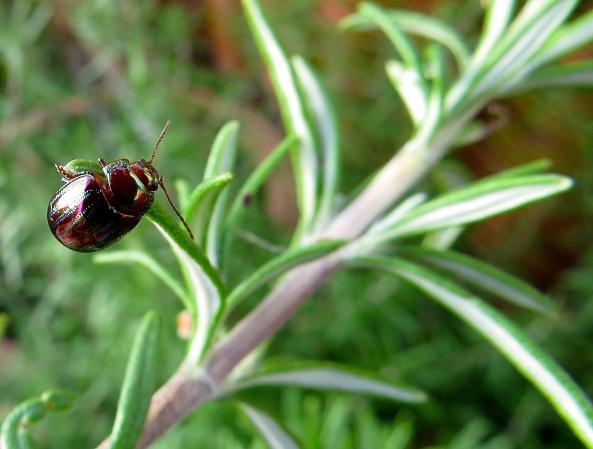 """I express myself through my beauty!"" said Regina Rosemary Beetle!"