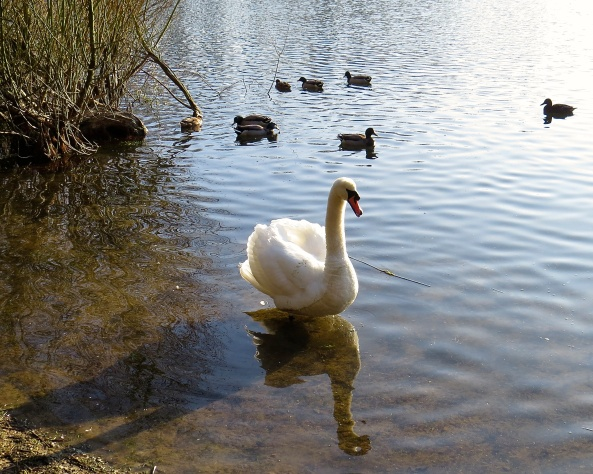 It was then that Belinda saw Cyril Come swimming in for a rest Sadly he had some river weed Stuck all over his chest!
