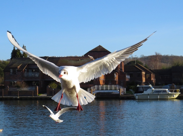 Boris the Black-headed Gull (whilst being patient for his summer black head to appear) decided to have some fun with his rather small cousin, Beanie the Black-headed Gull! Boris managed to persuade Beanie that it would be great fun if he tried to to do some wing walking using his small cousin as the wing on such a bright and beautiful sunny day in Marlow!