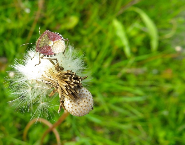 A shield bug with beautiful gold on his back trying to find his way across a nearly bald dandelion!