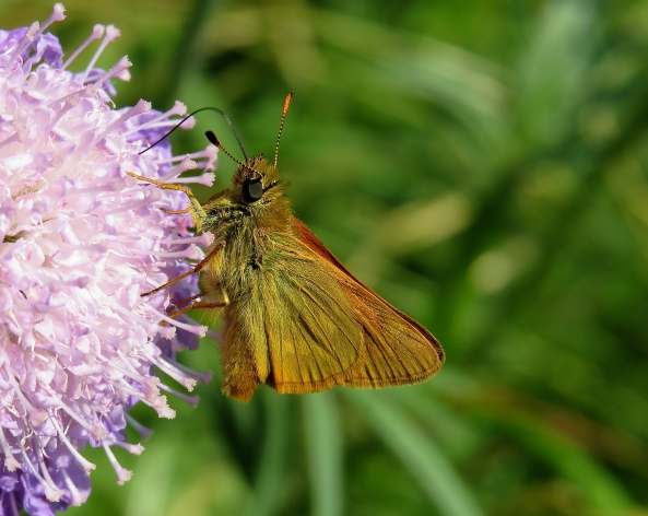 A large Skipper