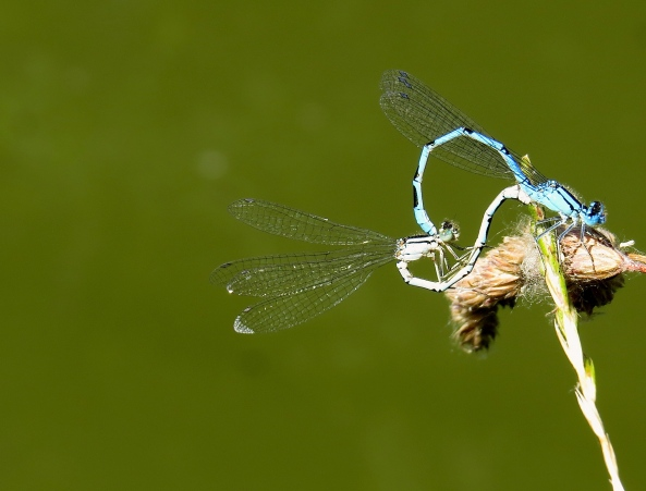 Saucy Damselflies!