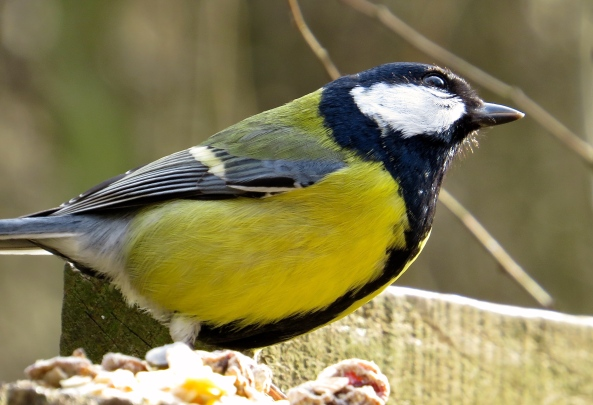 Here's Graham Great Tit!