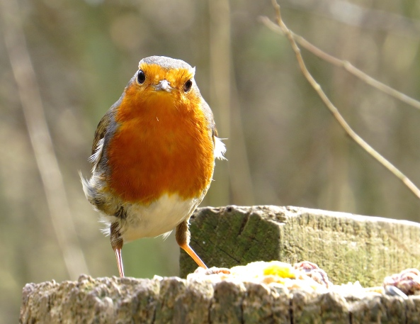 Rodwell Robin challenging my presence!