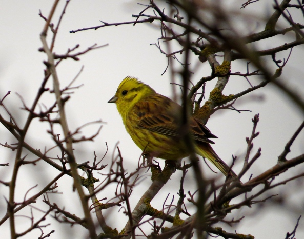 He's from the finch family and I've never seen a more yellow one that today…I thought from a distance he was an escaped canary!
