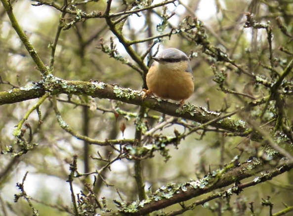 Nadine Nuthatch! She flitted around the trees and I waited with baited breath!