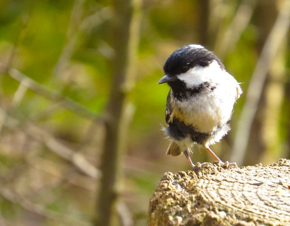 Here's Colin Coal Tit…he's teeny weeny and slightly scruffy!