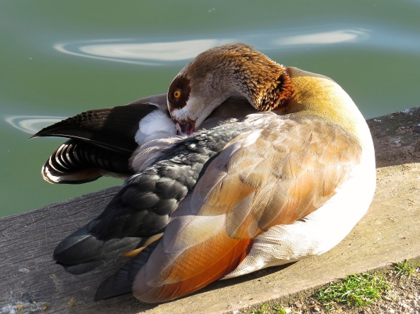 """Some itches you've just gotta scratch!"" said Egbert the Egyptian Goose to anyone who would listen!"