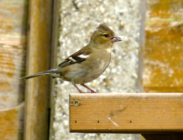 Cherry Chaffinch feeling pleased that the pigeons have left a few seeds for her!