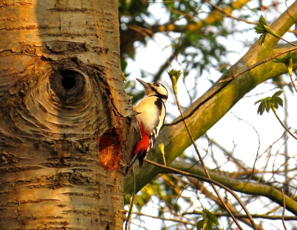 There I was doing a bit of stretching in the early morning when I heard a tapping….and that's when I saw Graham the Great Spotted Woodpecker!
