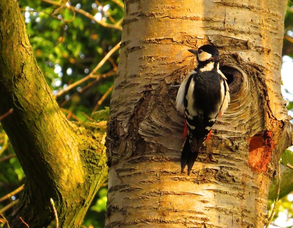 """Now,"" said Graham the Great Spotted Woodpecker, ""Where was that hole I was working on….?"""