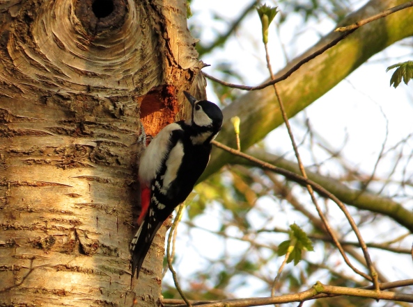 Graham the Great Spotted Woodpecker finally found that hole!