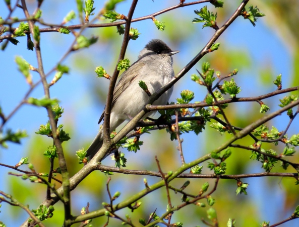 Meet Bailey the beautiful Blackcap Sitting sunning himself on a twig He seemed to look to the distance Like he couldn't really give a fig!