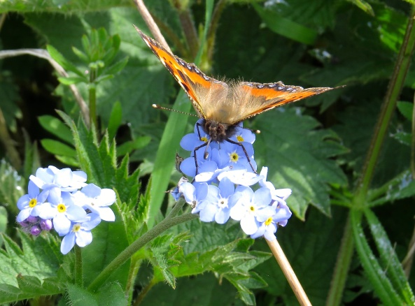 A beautiful Tortoiseshell butterfly on some Forget Me Not flowers.