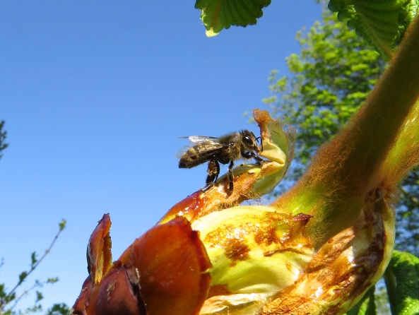 Mr. Bee here was collecting something from the bud of a horse chestnut that is just bursting into leaf!