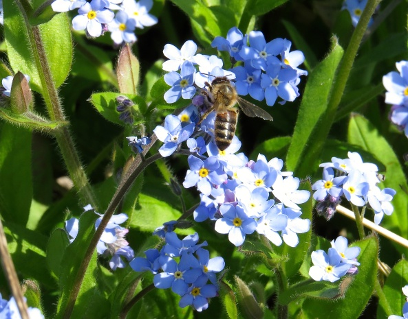 This little chap was so excited with these Forget Me Nots that he was zooming from one to another. I could barely keep up with him!