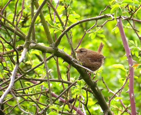 I see wrens quite a lot but they are too fast to capture. Today, however, I caught one on camera by displaying some stealth and cunning! Once I had located Wrenata Wren, I took out my trusty iPhone, found my 'birds of Britain' app and played the song of the wren from it. Lo and behold…..Wrenato popped out onto the branch to take a long look at me…then she flew off but repeated the popping out several times!