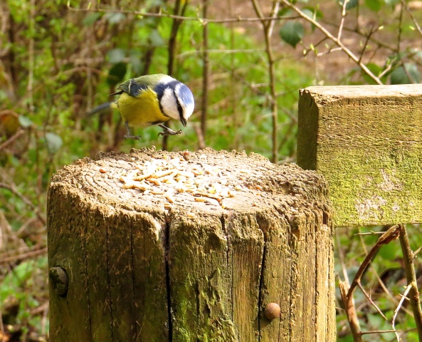 Bertie Blue Tit was 'on the way' to the delicious seeds laid on for him by the camera woman!