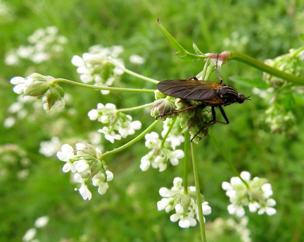 Poor old Emp has been described on the internet as a large, drab green-brown bristly fly with brown-tinged wings! How rude!