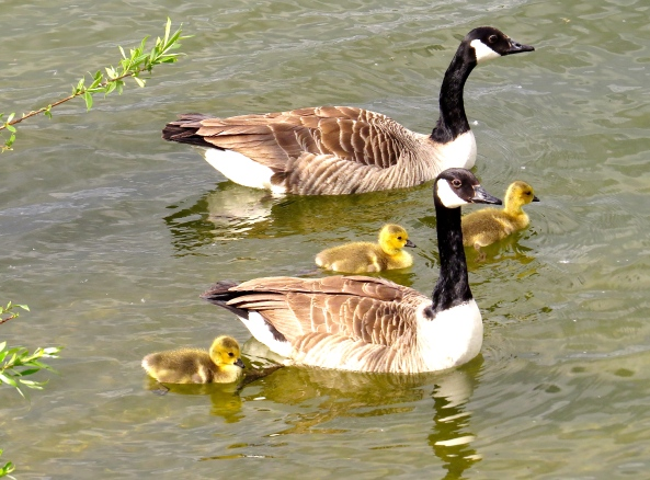 Family outing for the Canada Geese!