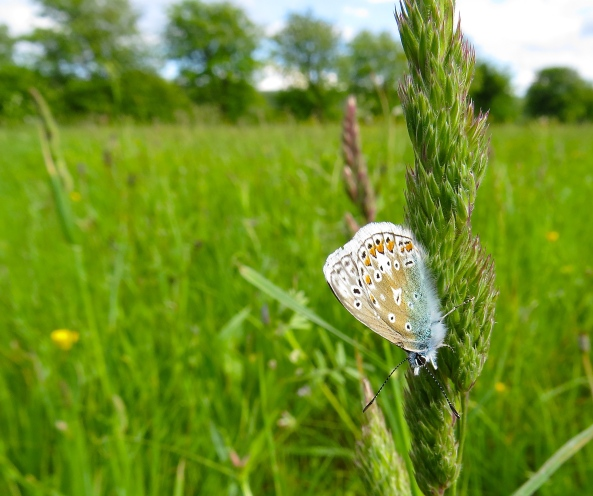 I couldn't believe my luck….Charlie Boy Chalk Hill Blue stayed right where he had landed!