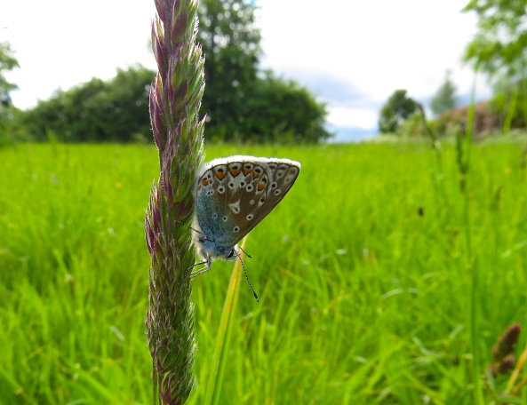 Whoop dee doo! Still Charlie Boy Chalk Hill Blue remained on the grass!