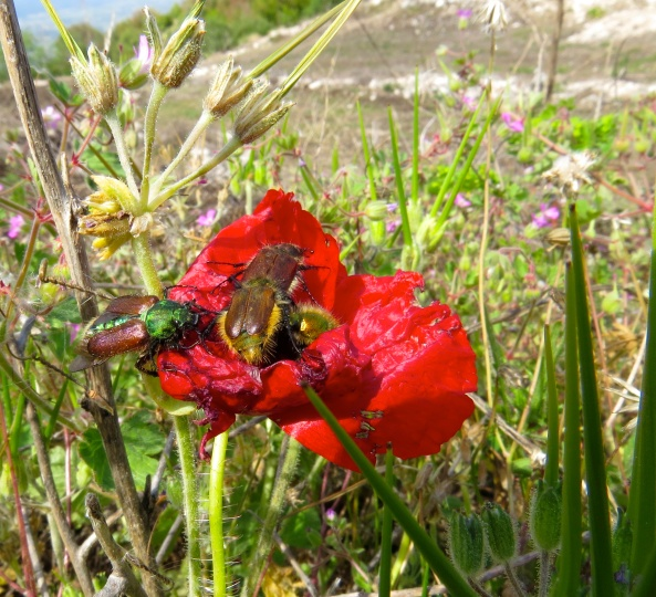 These little chaps were hustling and bustling on this poppy as if their lives depended on it!