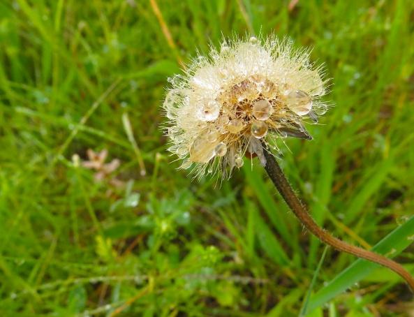 A rain soaked dandelion!