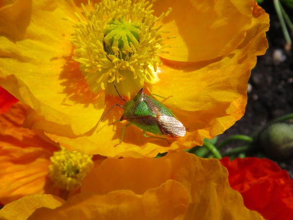 A glorious shieldbug on a poppy
