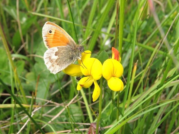A teent weeny lady Chalkhill Blue Butterfly who is only as big as your thumb nail. Yes I know she should be called a Chalkhill orangey brown!