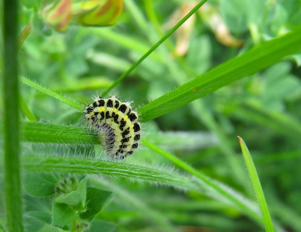 "This is the caterpillar of the Six Spot Burnet Moth….we shall call him ""Sixy"". (Well why not?)"