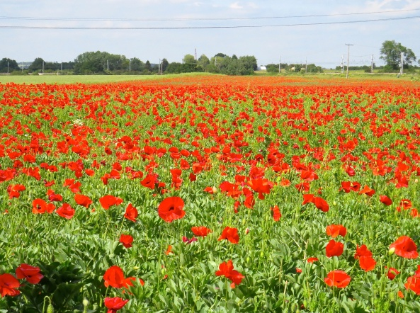 I passed this field of poppies today…breathtakingly beautiful sight!