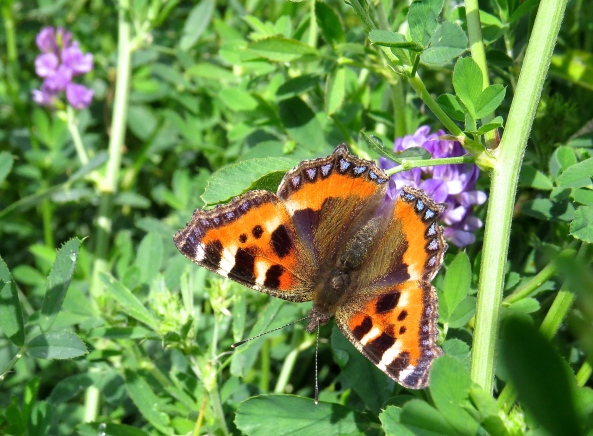 The small (and slightly upside down) tortoiseshell butterfly who can be found in the fields behind my house at this time of year.