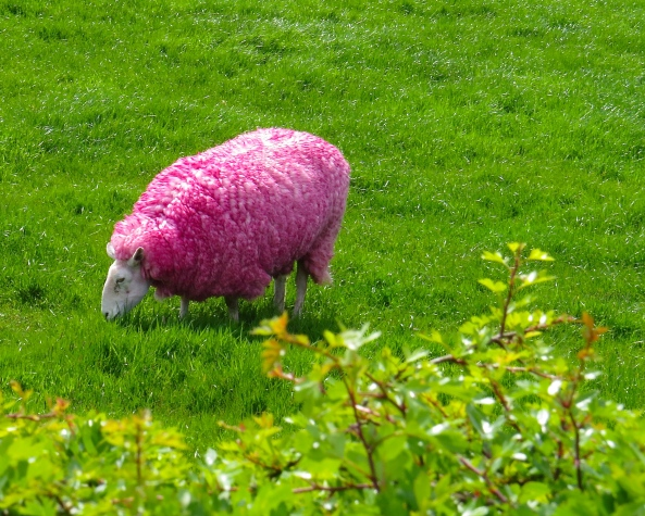Siobhan Sheep rather liked her new look as she munched happily on some rather glorious green Irish grass!