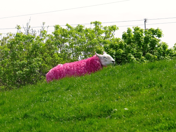 Shirley Sheep lay down, hoping beyond hope that what she thought had happened to her wonderful woolly coat was just a figment of her imagination!