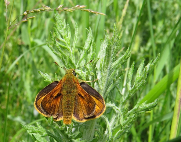 The Small Skipper with his beautiful vibrant orange and brown colouring.