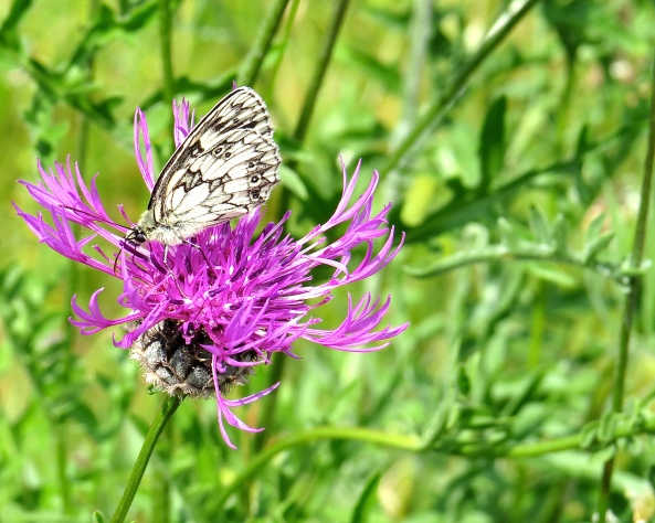 The Marble White butterfly who loves the knapweed.