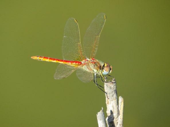 A Turkish Dragonfly