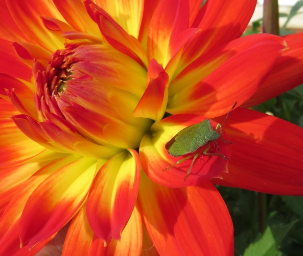 Now Sheldon feels happy  With his life on a dahlia With these colours around He no longer feels a failure!