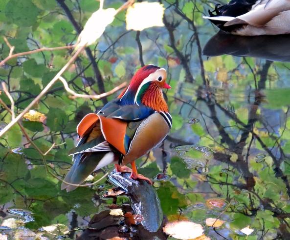 Marvellous Mr. Mandarin Duck!
