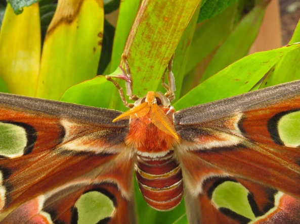I can't resist a moth with good head gear! (It's a large, very large Atlas Moth!)