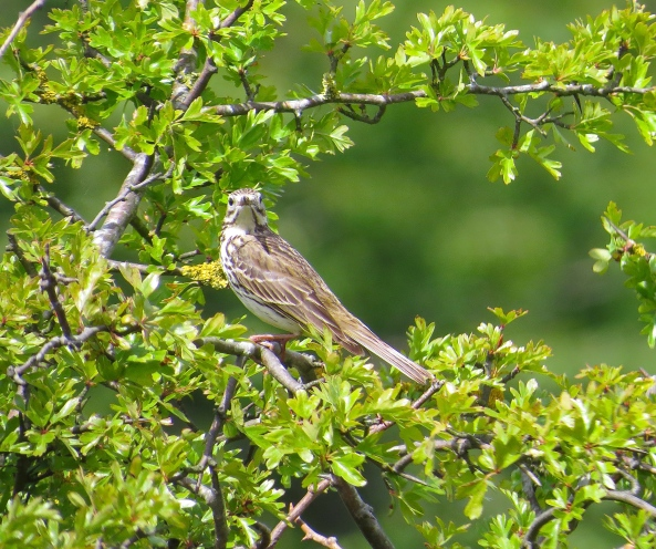 I love birds of all types….this is Susie Skylark!