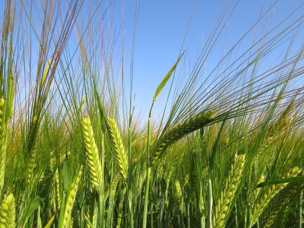 Crop fields…this is barley from the field behind my house!