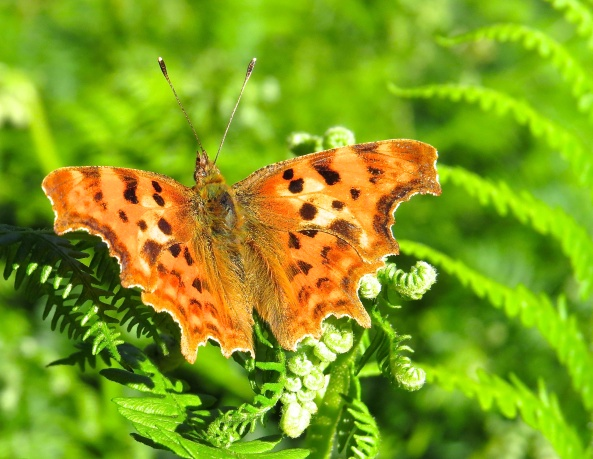 A Comma butterfly