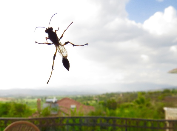 This is Mardy the Mud Dauber Wasp!