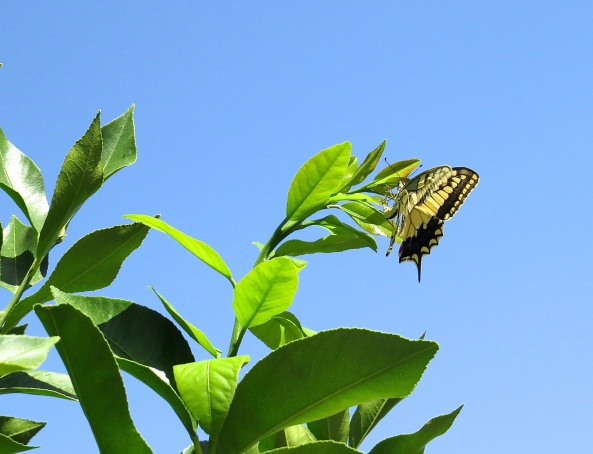 "Susie Swallowtail selected a certain leaf and decided this was the one…""This is the one!"" she said!"