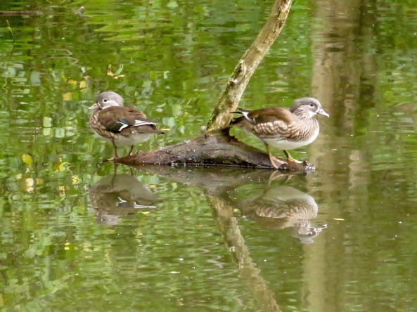 Two female Mandarin Ducks