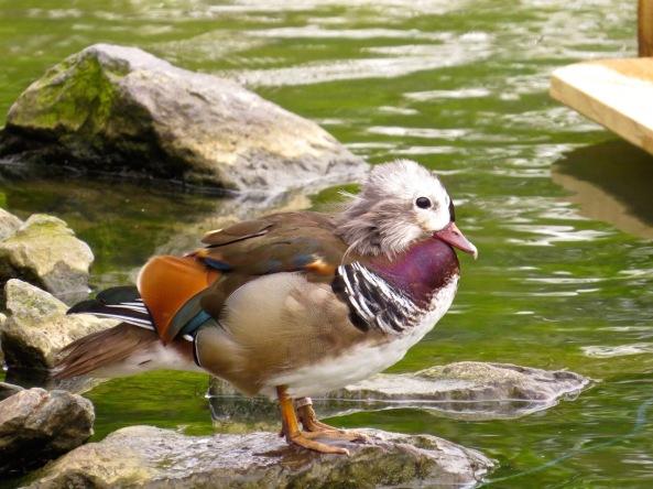 A scruffy juvenile mandarin duck!