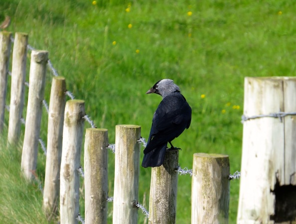 Jeremiah Jackdaw knew this was the perfect place to have a photo taken whilst showing off his beautiful black feathers. He also treated barbed wire boundaries with utter disregard!