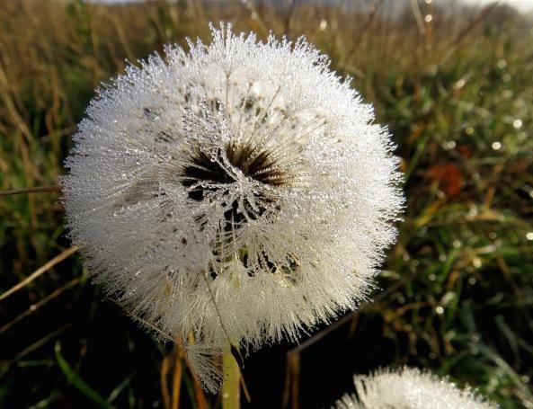 This dandelion looked amazing!